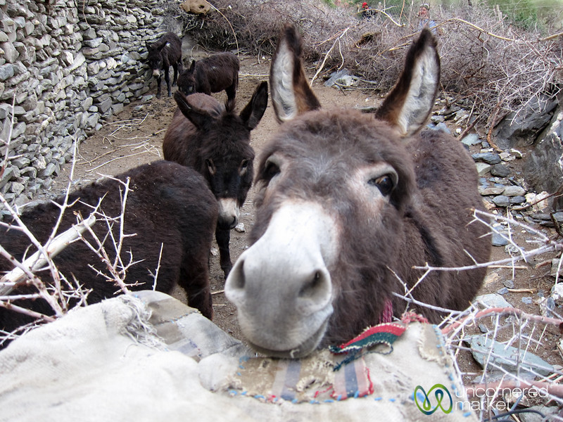 Donkeys in Skyu Village - Ladakh, India