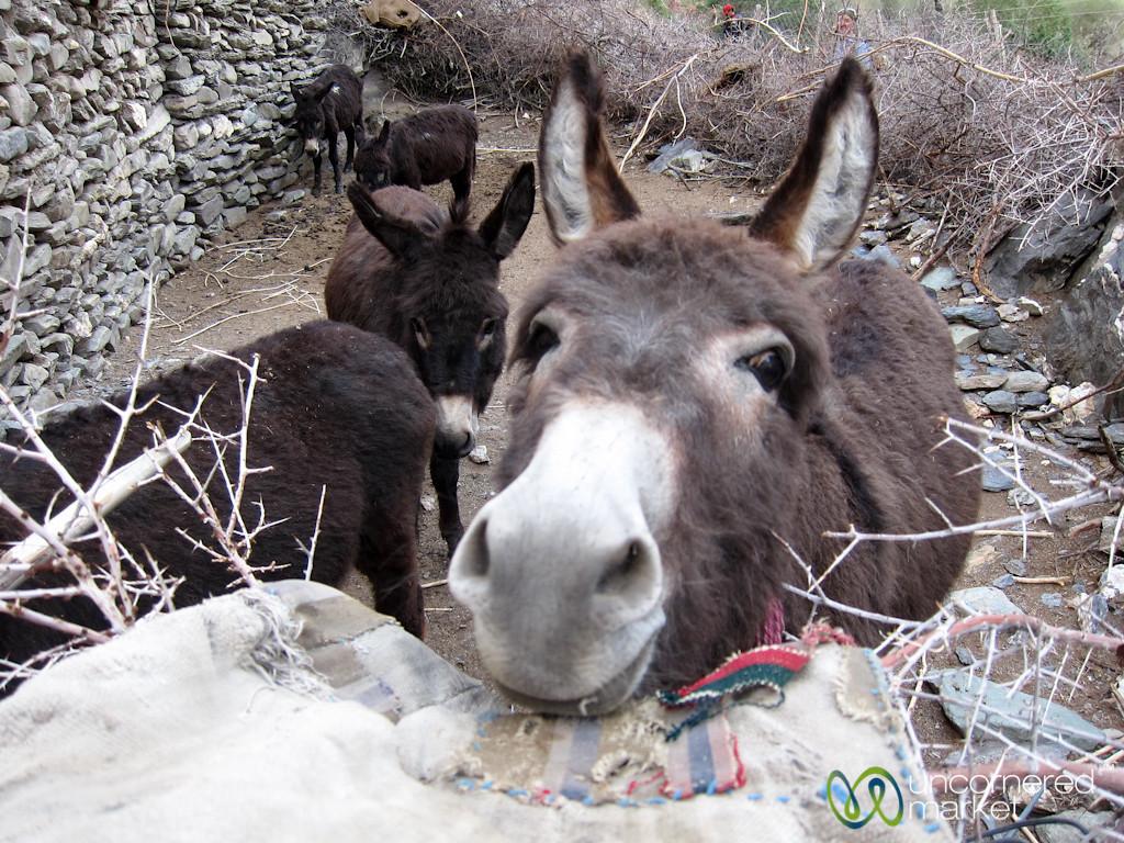 Donkeys in Skyu Village - Ladakh, India