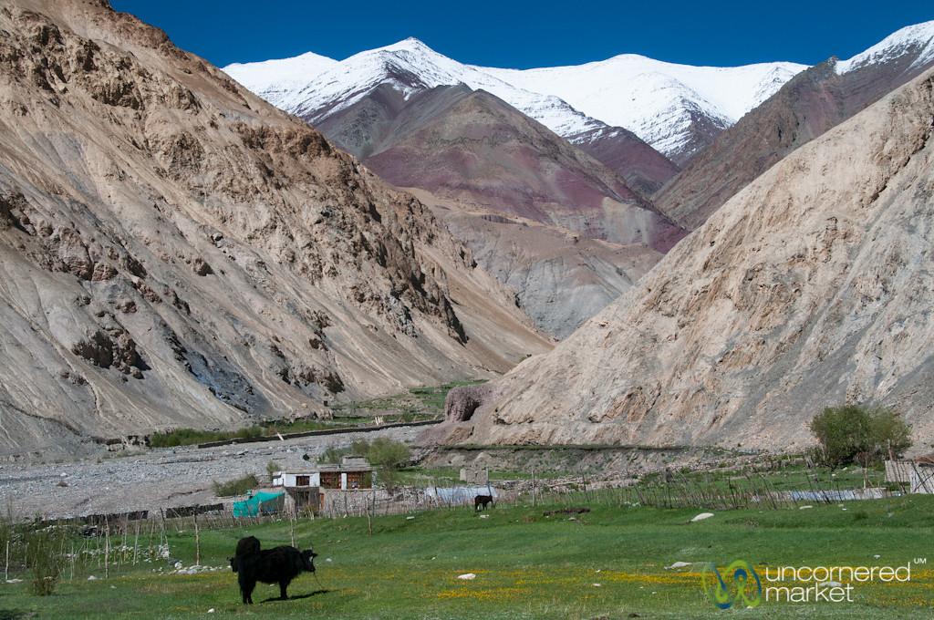 Zos (Yak-Cow Hybrids) in Markha Valley Trek - Ladakh, India