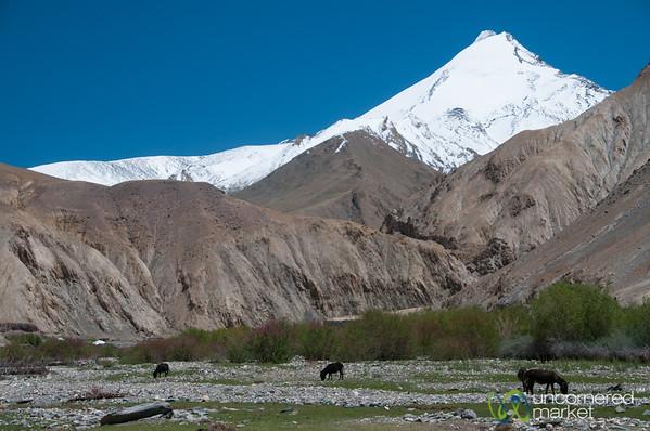 Donkeys and Horses Grazing - Markha Valley Trek, Ladakh