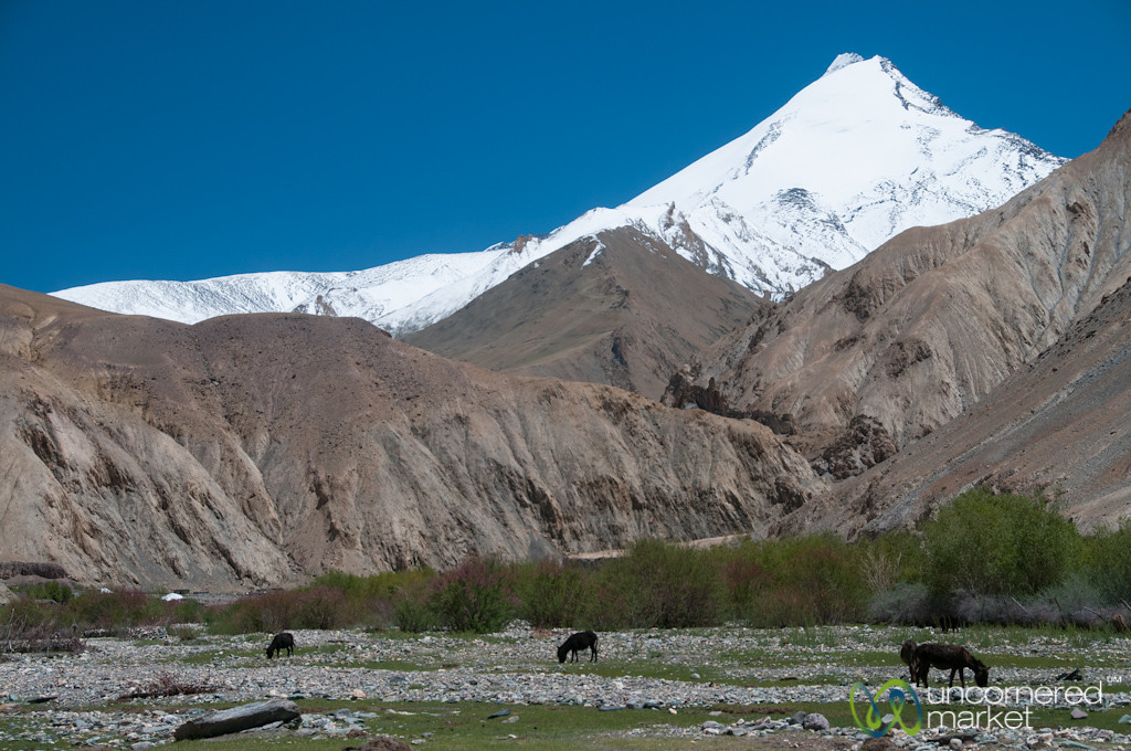 Donkeys and Horses Grazing - Markha Valley Trek, Ladakh