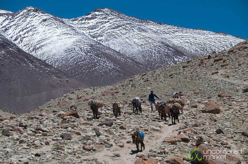 Horses Along the Markha Valley Trek - Ladakh, India