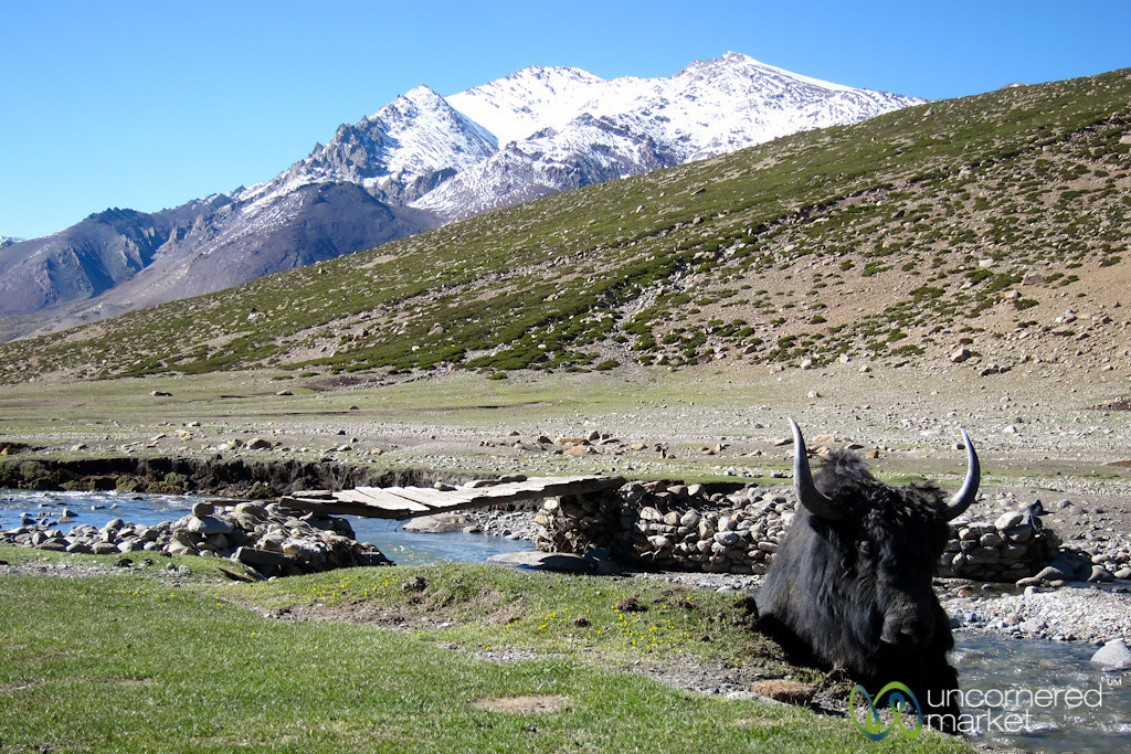 A Yak in the Stream - Nimiling, Ladakh