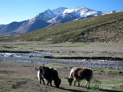Zos Grazing at Nimiling - Markha Valley Trek, Ladakh
