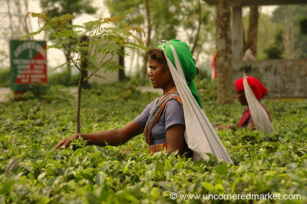 Indian Woman Picking Tea - West Bengal, India