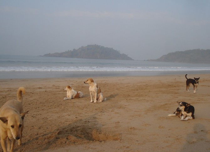 Palolem Beach Dogs