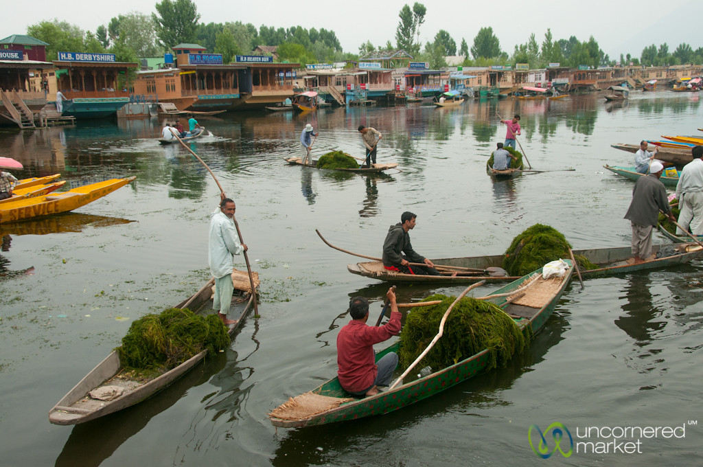 Collecting River Weed at Dal Lake - Srinagar, India