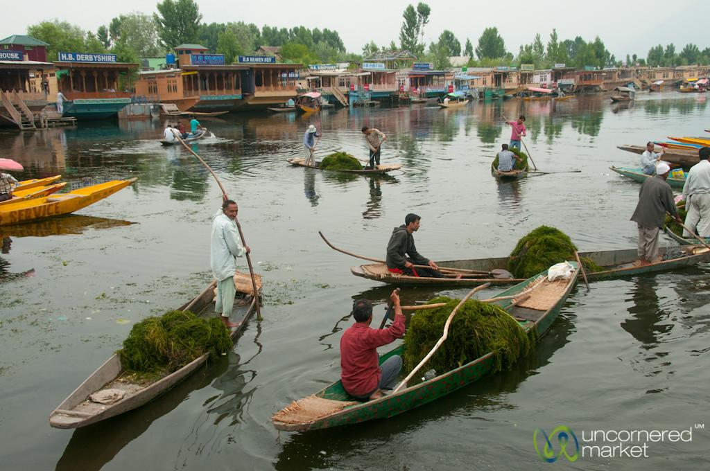 Collecting River Weed at Dal Lake - Srinagar, India