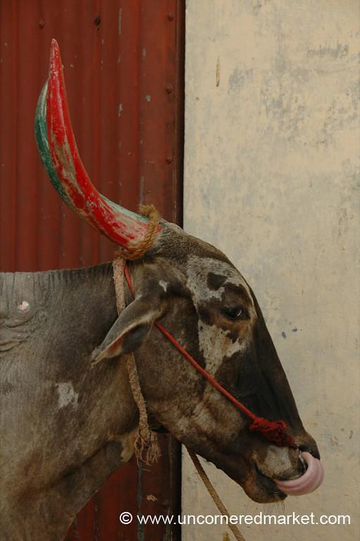 Bull Lickin' His Chops - Pondicherry, India
