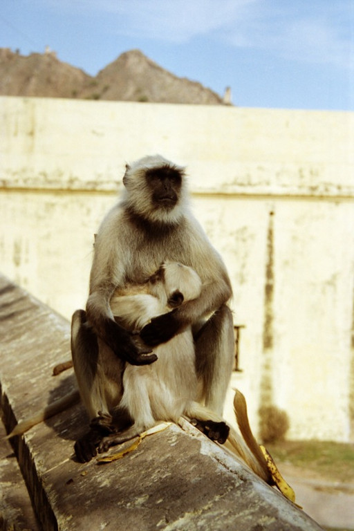 Langur Monkey at Amber Fort - Jaipur, India