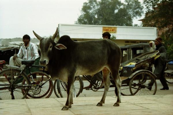 Sacred Bull - Khajuraho, India