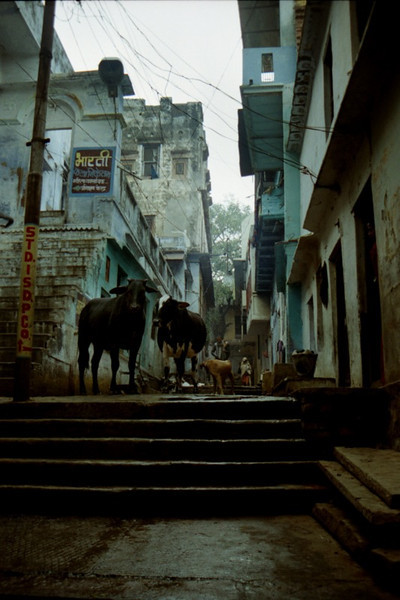 Sacred Cows Fill the Streets - Varanasi (Benares), India