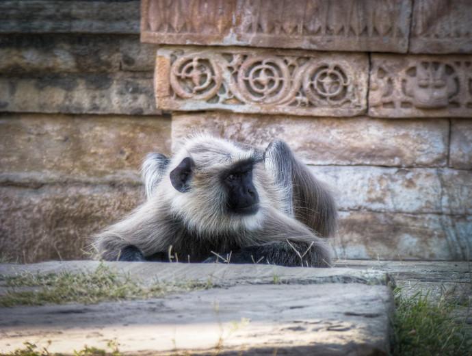 monkey udaipur