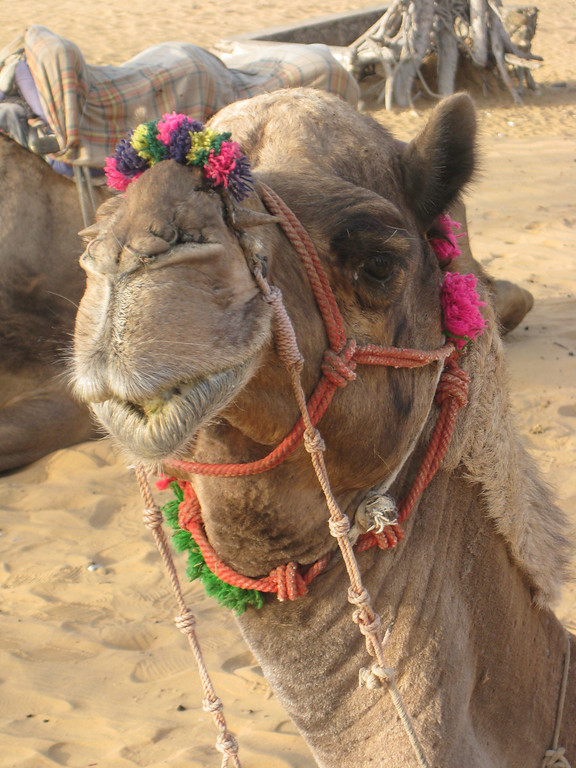krishna the camel in pushkar