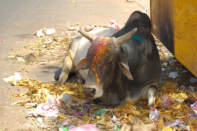Playing Holi with the Holy Cows!