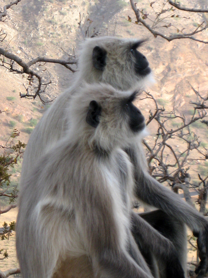 Monkeys at Brahma's Temple, Pushkar