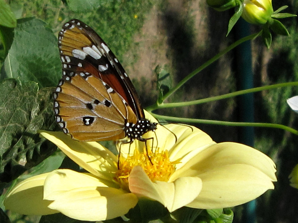 butterfly updaipur