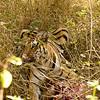 Female Bengal Tiger Eating a Sambar Deer in Pench National Park India