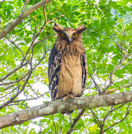 Buffy Fish-Owl female (Ketupa ketupu) - Way Kambas NP, Sumatra