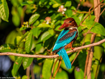 White-throated Kingfisher (Halcyon smyrnensis) - Singapore