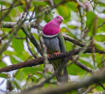 Pink-headed Fruit Dove (Ptilinopus porphyreus) - Watu Ondo, Java
