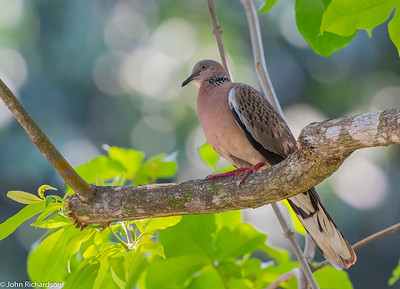 Spotted Dove (Spilopelia chinensis) - Singapore