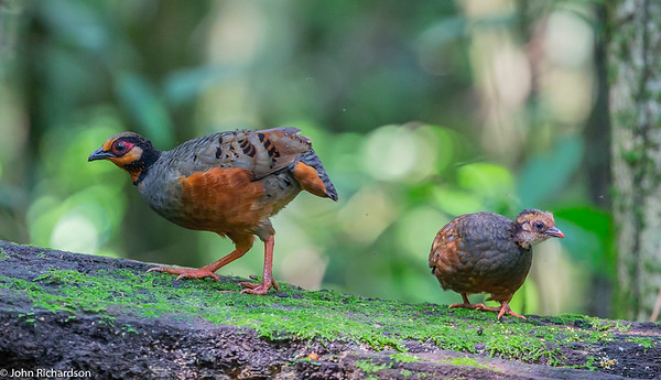 Chestnut-bellied Partridge (Arborophila javanica) ENDEMIC - Raden Soeryo Greater Forest Park, Java