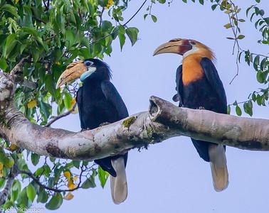 Blyth's Hornbill (Rhyticeros plicatus) - Waigeo