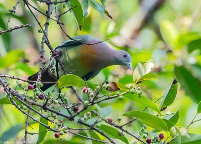 Pink-necked Green Pigeon (Treron vernans) - Singapore