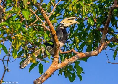 Oriental Pied Hornbill (Anthracoceros albirostris) - Way Kambas NP, Sumatra