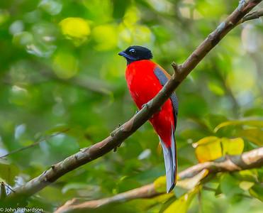 Scarlet-rumped Trogon (Harpactes duvaucelii) - Way Kambas NP, Sumatra