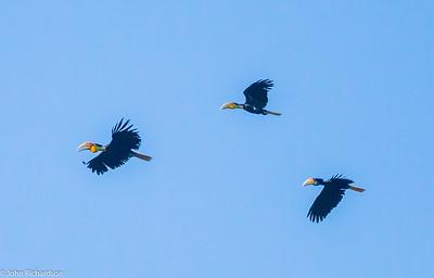 Wreathed Hornbill ( Rhyticeros undulatus) - Way Kambas NP, Sumatra