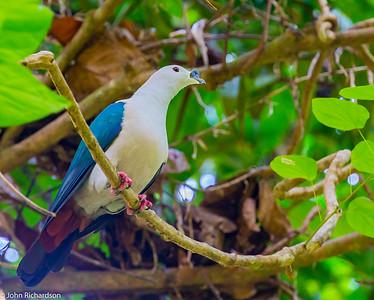 Spice Imperial Pigeon (Ducula myristicivora) - Birie