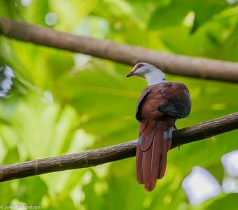 Great Cuckoo-Dove (Reinwardtoena reinwardti) - Waigeo