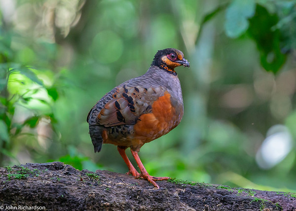 Chestnut-bellied Partridge (Arborophila javanica) - Raden Soeryo Greater Forest Park, Java