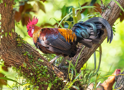 Red Junglefowl (Gallus gallus) - Singapore