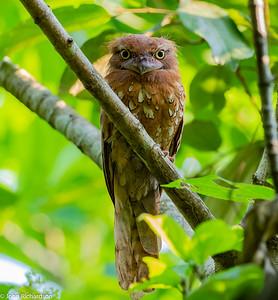 Sunda Frogmouth (Batrachostomus cornutus) - Way Kambas NP, Sumatra