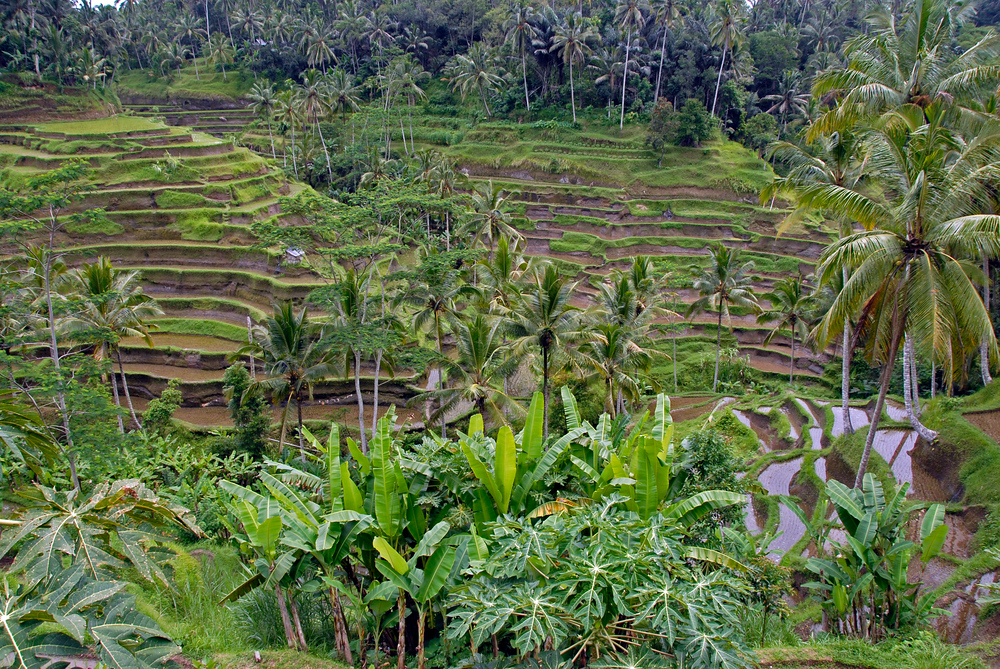 Rice terraces on the island of Bali, Indonesia