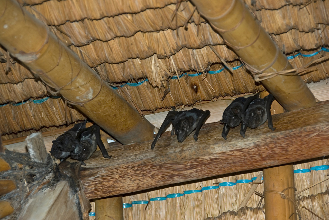 Bats resting on ceiling in Bali, Indonesia