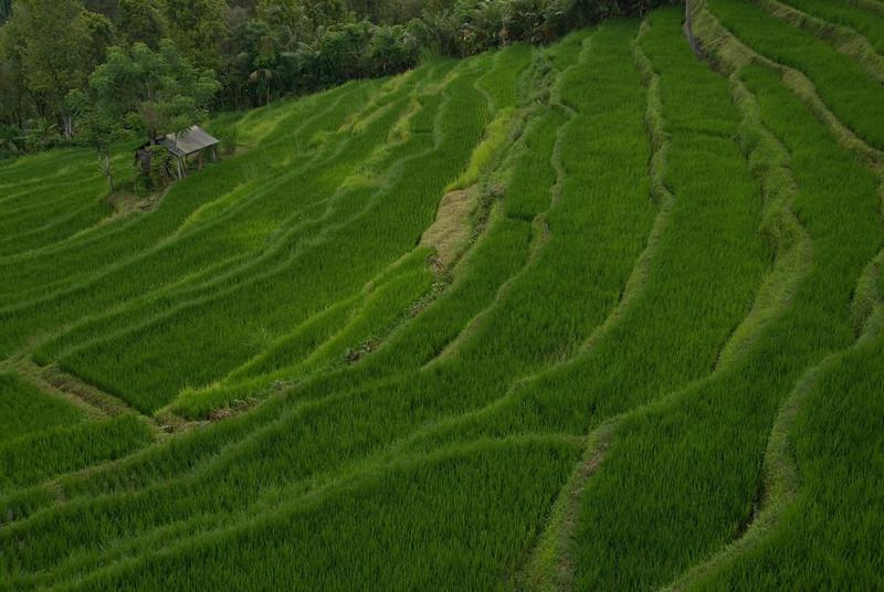 Close look of Tegalalang Rice Terrace at Bali, Indonesia