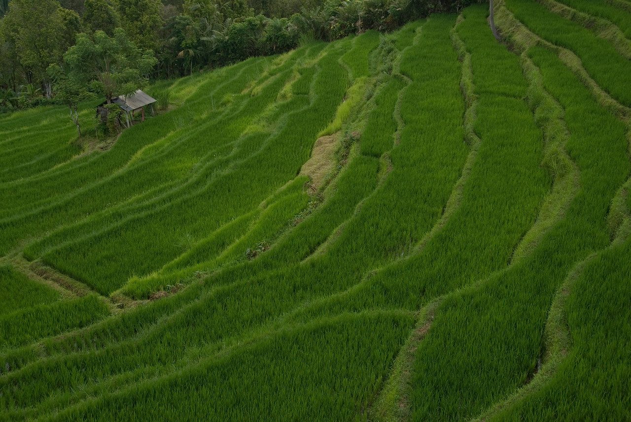 Close look of Tegalalang Rice Terrace at Bali, Indonesia