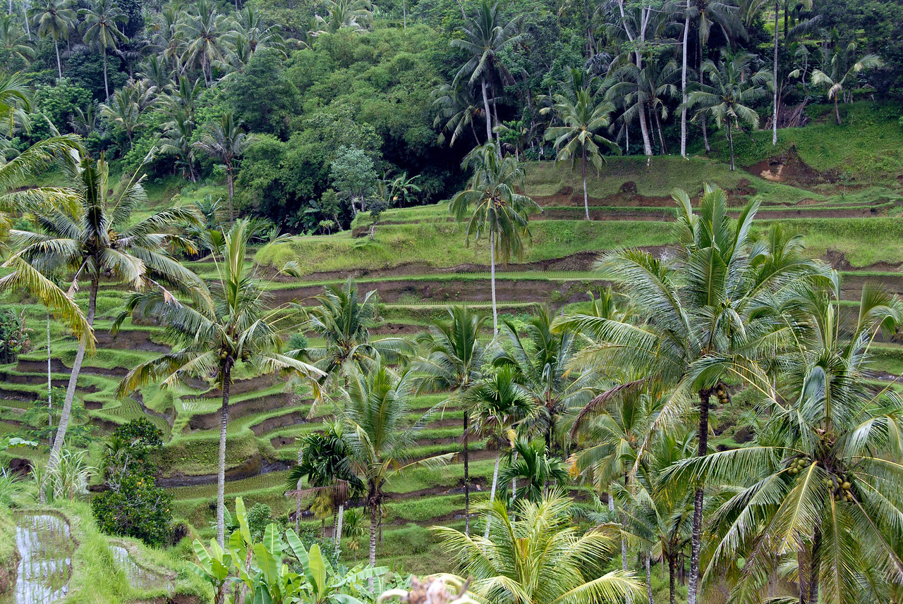 Coconut trees surrounding the Tegalalang Rice Terrace in Bali, Indonesia