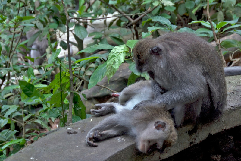Two monkeys spotted in Bali, Indonesia