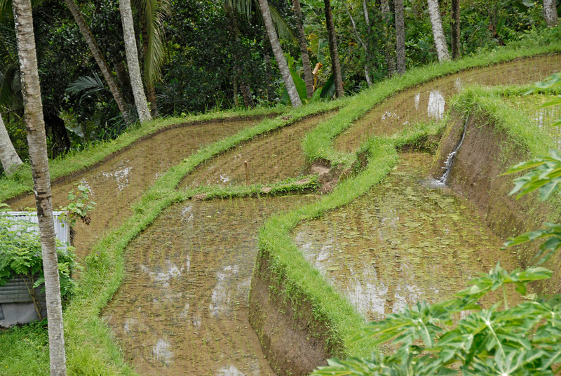 Closer look at the fields of Tegalalang Rice Terrace in Bali, Indonesia