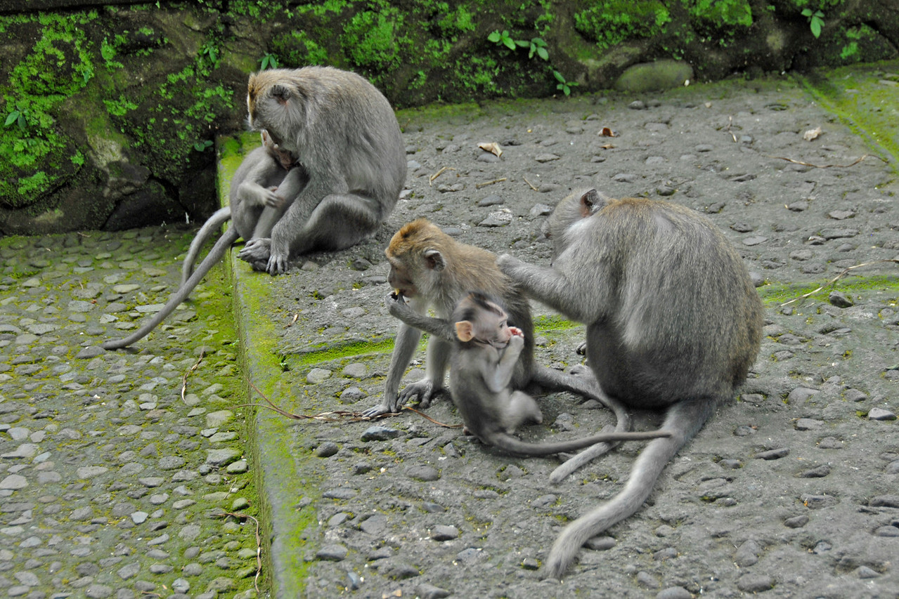 Group of monkey spotted in Bali, Indonesia