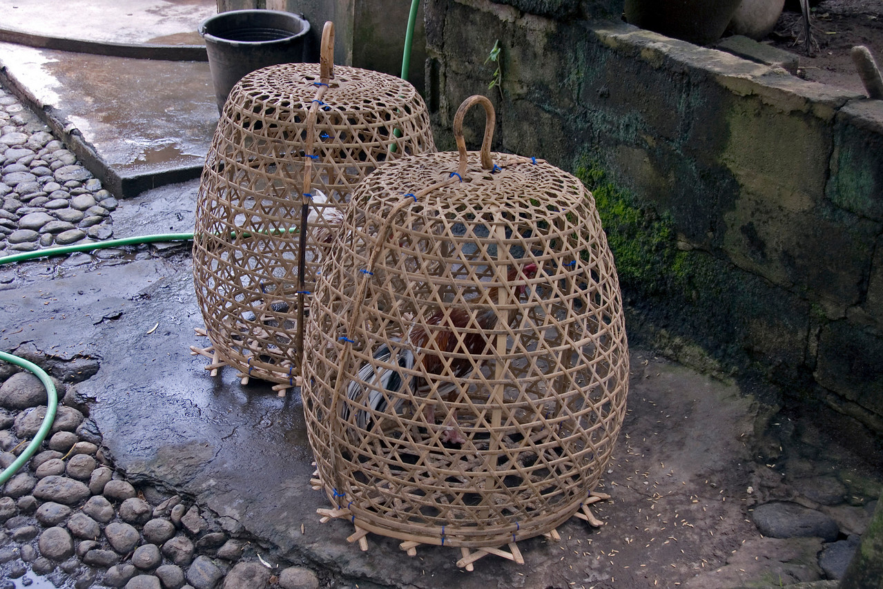 Cockfighers inside a cage in Bali, Indonesia
