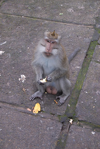 Monkey eating banana spotted in Bali