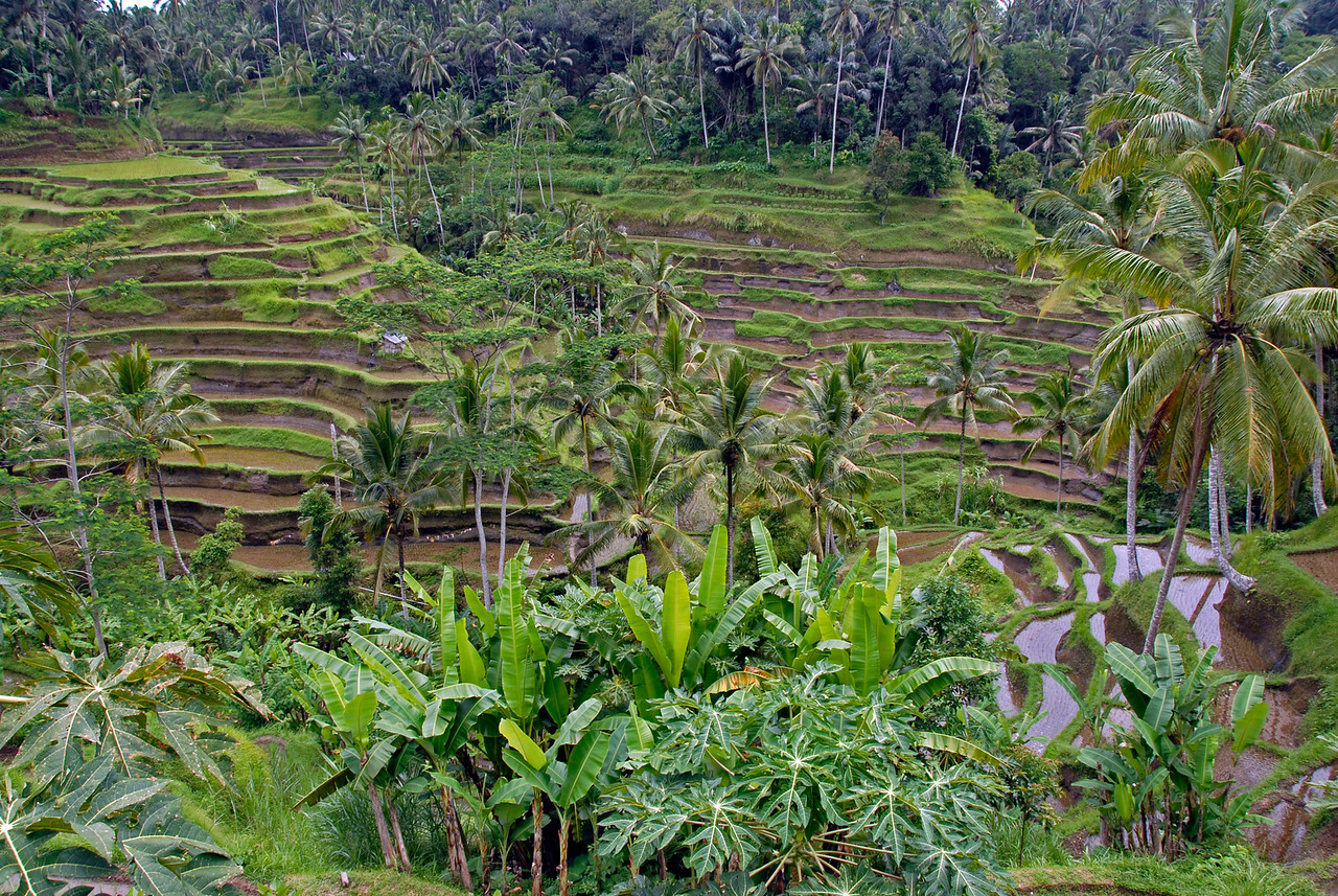 Another perspective of Tegalalang Rice Terrace in Bali, Indonesia