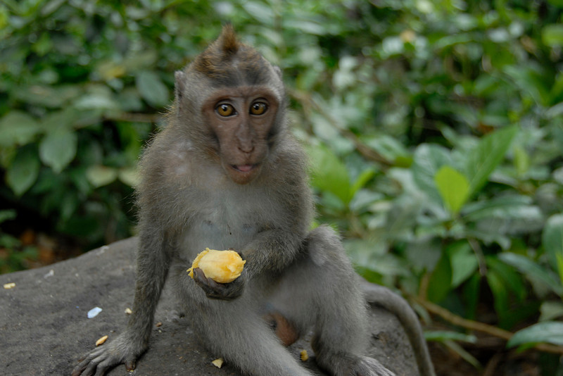 Another shot of monkey eating a banana
