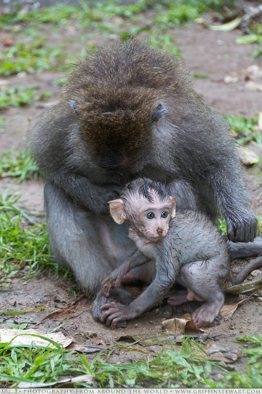 Monkey and Baby In Bali